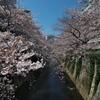 早稲田の桜