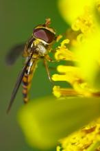 初冬の昆虫達 ホソヒラタアブ