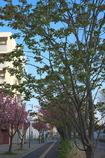御衣黄桜の並木道