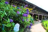 紫陽花と渡り廊下