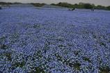 花の丘 ネモフィラ