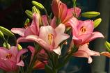 ユリの花 PINK