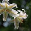 Gold-banded lily