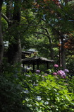 本土寺本堂前の紫陽花