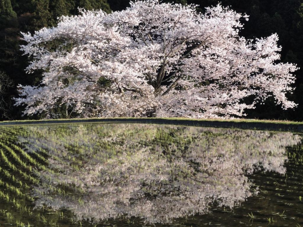 諸木野の桜(奈良県宇陀市) by たぼやん (ID:1146467) - 写真 ...