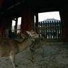 フィッシュアイ奈良 鹿