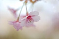 薄紅色の春Ⅱ