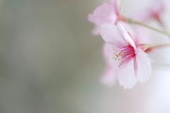 薄紅色の春