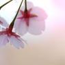 薄紅色の春Ⅲ