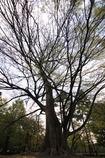 都を守りし巨木