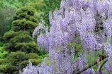 紫、枝垂れる