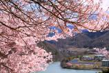 よしのり画伯の桜 2