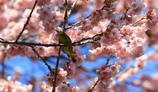 桜とメジロ 2