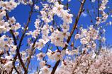 よしのり画伯の桜 1