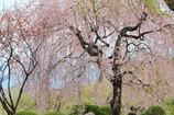 やっと、桜。