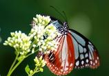 渡り蝶々2