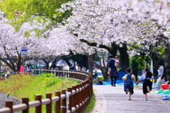 The avenue of the cherry tree.