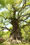 日本一の巨樹