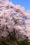 桜日和 2