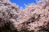 桜日和 1
