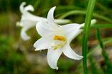 Field lily