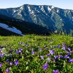 PENTAX PENTAX K-5で撮影した(チシマギキョウと大日岳)の写真(画像)
