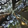 高森殿の杉2