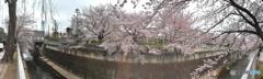 石神井川 サクラ 4月2日