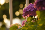 The hydrangea with setting sun.