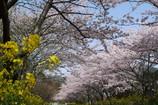 春満開(LEICA Ver,)