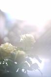 午後の白バラ