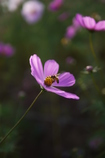 A cosmos and bee.