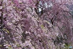 峠のしだれ桜