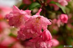 雨上がりの海棠