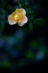 Roses of June