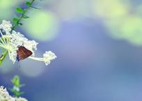 シジミチョウの夏