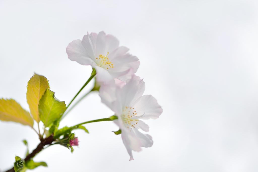 四 季 桜