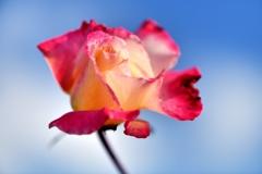 爽秋の薔薇