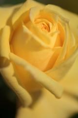 Rose du soleil