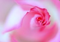 NIKON NIKON D800Eで撮影した(ピンク色の微睡)の写真(画像)