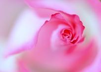 ピンク色の微睡