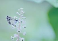 碧い目のお花さん