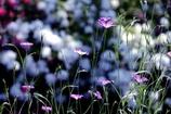 花畑に美しく咲く