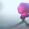 NIKON NIKON D800Eで撮影した(香散見草Ⅱ)の写真(画像)