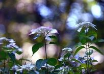 紫陽花陸離Ⅱ