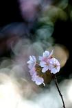 春 桜燦々Ⅱ