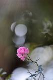 残秋の薔薇