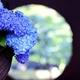 Meigetsu in blue