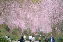 ミホミュージアムの枝垂れ桜☆彡