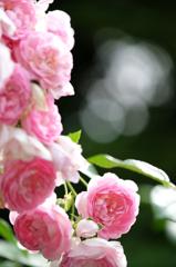 蜻蛉池公園の薔薇